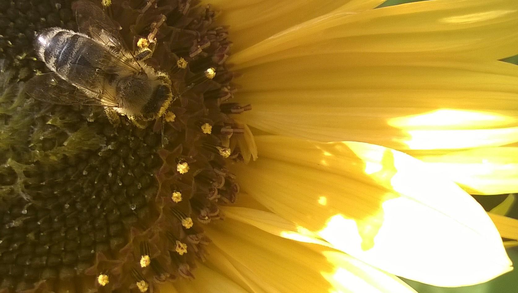 Biene auf herbstlicher Sonnenblume sammelt letzten Pollen
